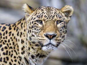 Preview wallpaper leopard, glance, animal, predator