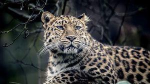 Preview wallpaper leopard, look, sadness, predator, muzzle