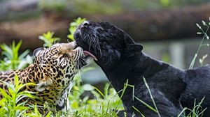 Preview wallpaper leopard, panther, lick, animals, wildlife