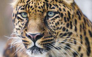 Preview wallpaper leopard, predator, big cat, face