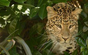 Preview wallpaper leopard, predator, face, cat