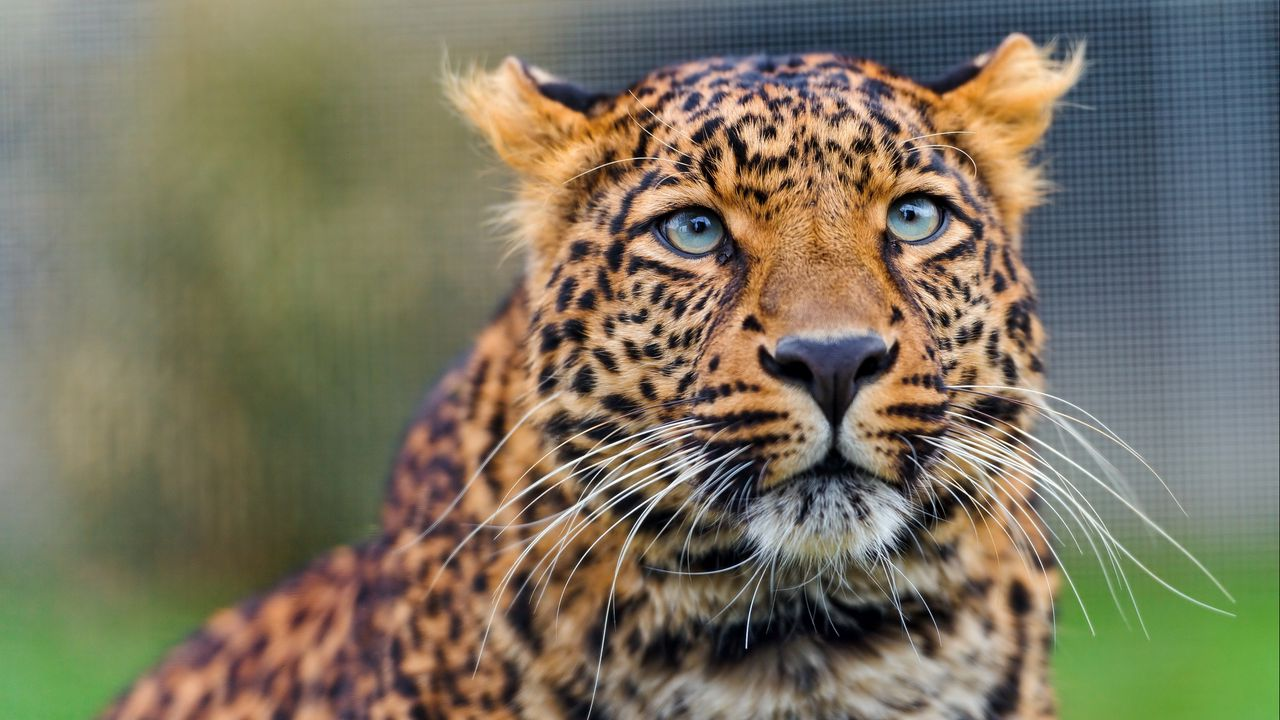 Wallpaper leopard, predator, face, look, watch