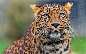 Preview wallpaper leopard, predator, face, look, watch