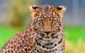 Preview wallpaper leopard, predator, face, spotted, big cat