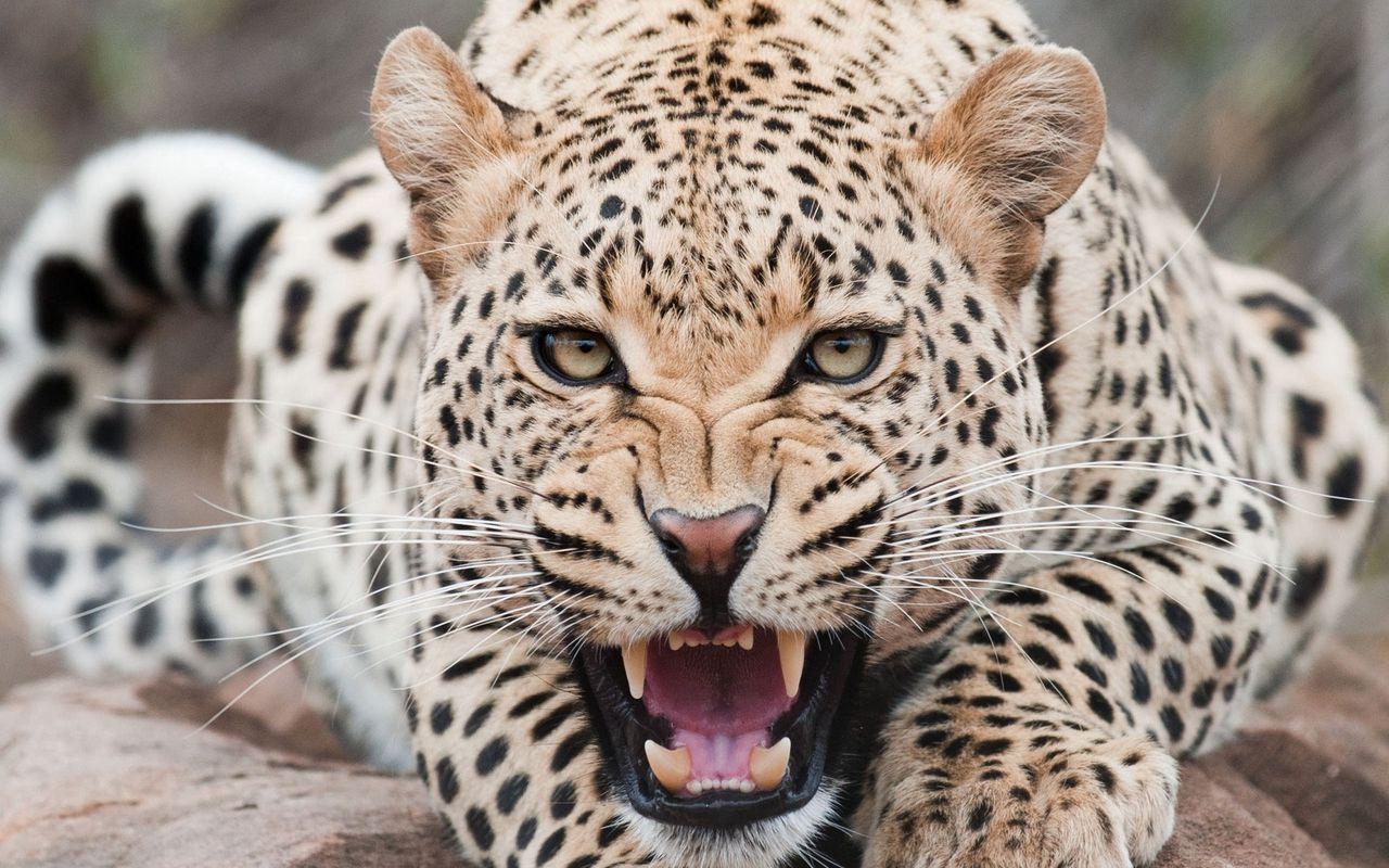 1280x800 Wallpaper leopard, predator, face, teeth, aggression