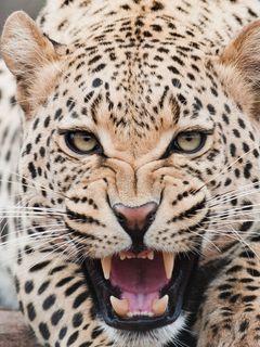 240x320 Wallpaper leopard, predator, face, teeth, aggression