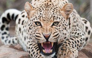 Preview wallpaper leopard, predator, face, teeth, aggression