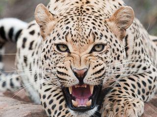 320x240 Wallpaper leopard, predator, face, teeth, aggression