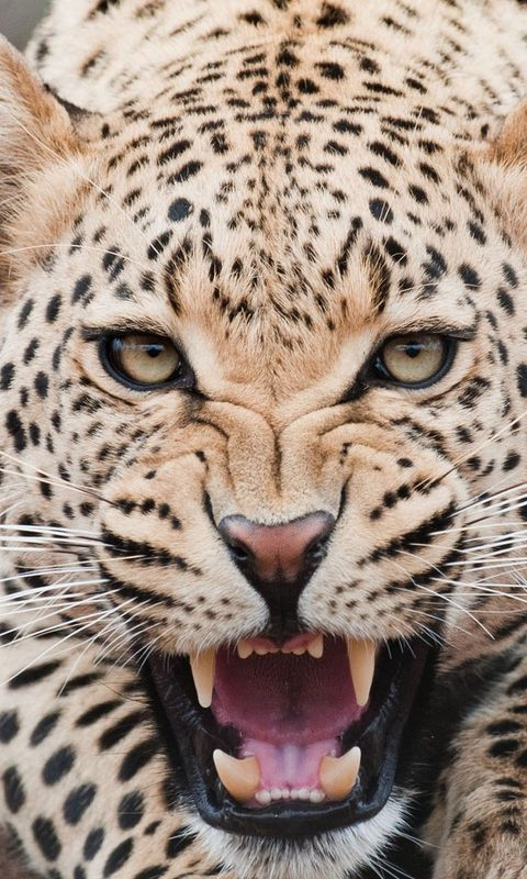 480x800 Wallpaper leopard, predator, face, teeth, aggression