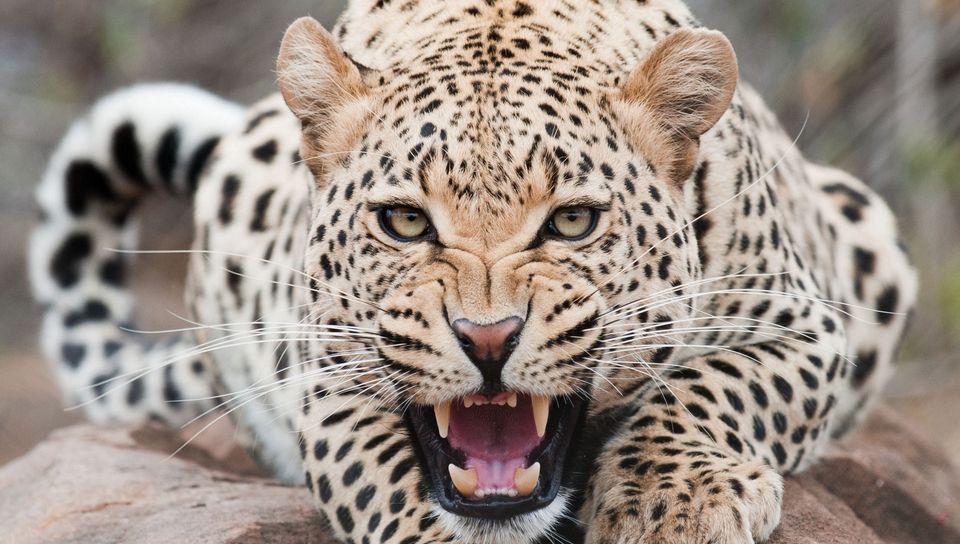 960x544 Wallpaper leopard, predator, face, teeth, aggression
