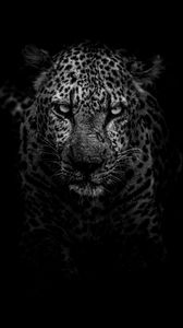 Preview wallpaper leopard, predator, muzzle, bw