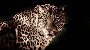 Preview wallpaper leopard, predator, muzzle, look