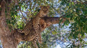 Preview wallpaper leopard, predator, tree, lie, branch