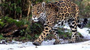 Preview wallpaper leopard, snow, walk, predator