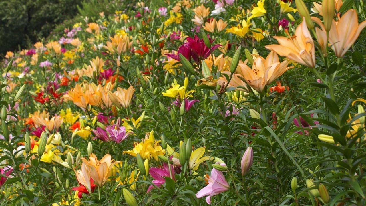 Wallpaper lilies, flowers, greenery, diversity, many