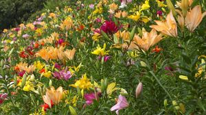 Preview wallpaper lilies, flowers, greenery, diversity, many