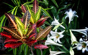 Preview wallpaper lilies, flowers, leaves, plants