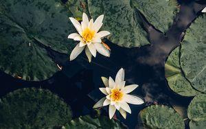 Preview wallpaper lilies, flowers, leaves, water, macro