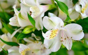 Preview wallpaper lilies, flowers, petals, buds, flora
