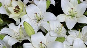 Preview wallpaper lily, buds, white, many