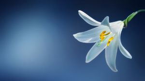 Preview wallpaper lily, flower, petals