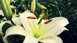 Preview wallpaper lily, flower, petals, plant