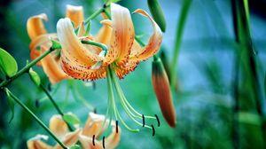 Preview wallpaper lily, flower, stamens, petals, grass