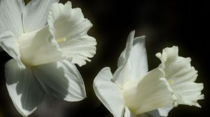 Preview wallpaper lily, flower, white, bud, close-up