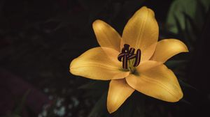 Preview wallpaper lily, flower, yellow, bloom, closeup