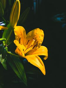 Preview wallpaper lily, flower, yellow, wet, drops