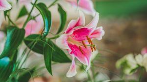Preview wallpaper lily, petals, stamens, pollen, close-up