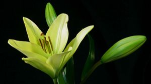 Preview wallpaper lily, plant, flower, bud