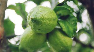 Preview wallpaper lime, citrus, branch, fruit