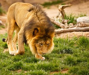 Preview wallpaper lion, animal, mane, wildlife