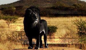 Preview wallpaper lion, black lion, mane, rock