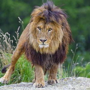 Preview wallpaper lion, glance, predator, big cat