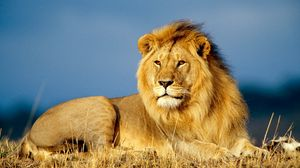 Preview wallpaper lion, king of beasts, lie, look, mane