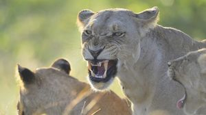 Preview wallpaper lion, lioness, teeth, anger, aggression, predator