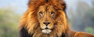 Preview wallpaper lion, mane, eyes, waiting, big cat, carnivore, king of beasts