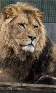 Preview wallpaper lion, predator, glance, big cat