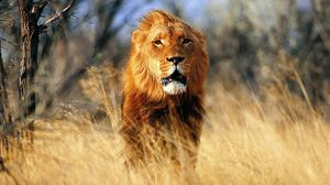 Preview wallpaper lion, wind, prairie