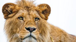 Preview wallpaper lion, young, predator, eyes, face