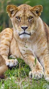 Preview wallpaper lioness, animal, glance, predator, big cat