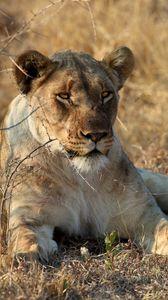Preview wallpaper lioness, animal, predator, big cat, wildlife