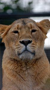 Preview wallpaper lioness, lion, glance, animal, predator