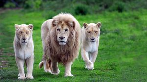Preview wallpaper lions, family, grass, walk, predators