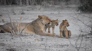 Preview wallpaper lions, lioness, lion cubs, mother, cubs, animals