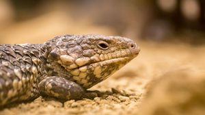 Preview wallpaper lizard, reptile, color, close-up
