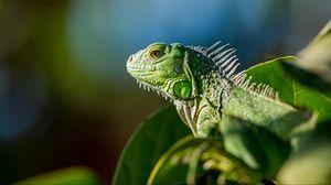 Preview wallpaper lizard, reptile, color, leaves