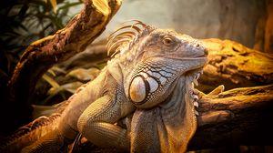 Preview wallpaper lizard, reptile, large